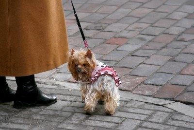 9668265-small-sweet-dog-is-walking-on-the-street-owner-in-an-orange-coat-holds-yorkshire-terrier-on-a-leash