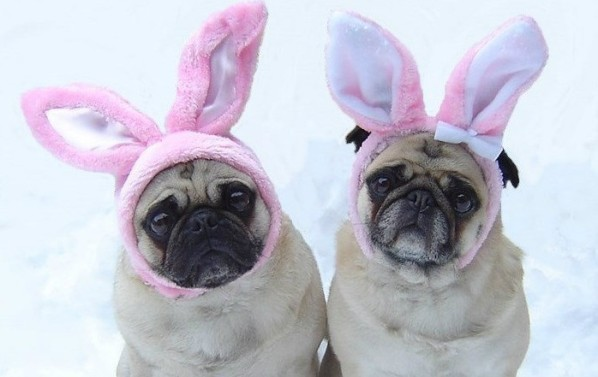 Cute-Pug-Easter-Bunnies-puppy