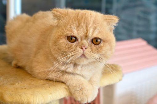 Gato Exótico de Pelo Curto_cc_Thinkstock